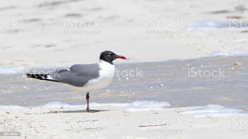 One seagull standing on a beach with water royalty-free stock photo