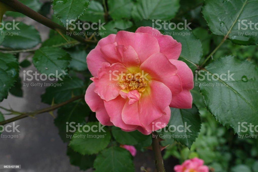 Foto De Coral Duplo Um Semi Rosa Com Miolo Amarelo E Mais Fotos De