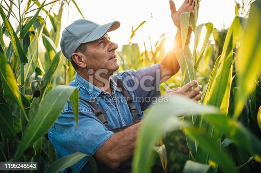One senior farmer with coveralls and cap walking in field and examining quality of corn before harvest.