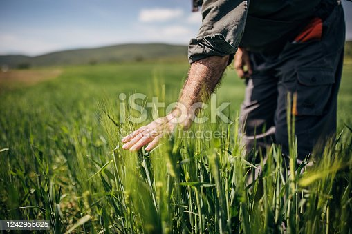 One senior farmer standing in the wheat field on sunny spring day. Close up of human hand touching wheat plant.