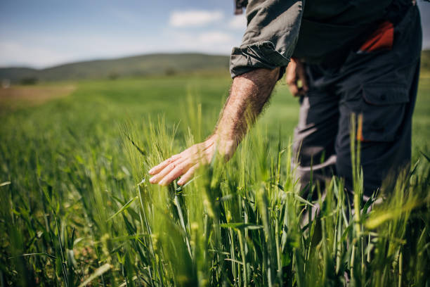 One senior farmer standing in the wheat field