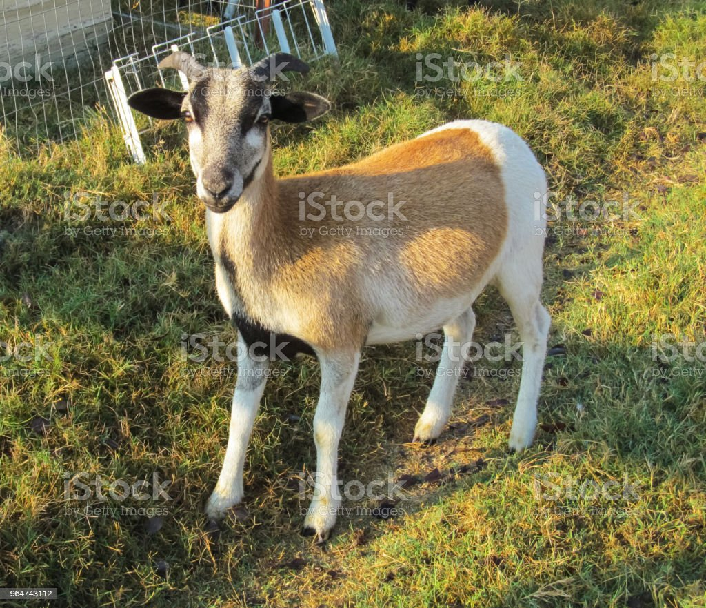 One sheep (goat breed) at a ranch in Texas. royalty-free stock photo