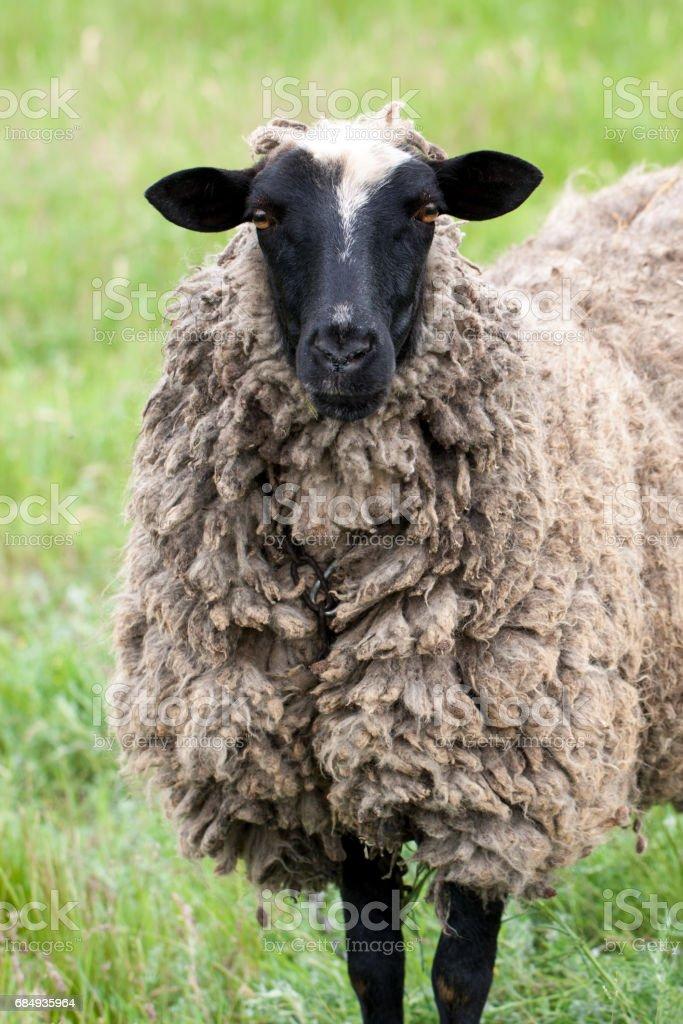 one sheep graze on the green grass. Close-up Lizenzfreies stock-foto