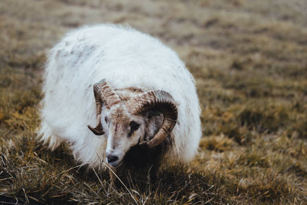 One sheep in Iceland stock photo