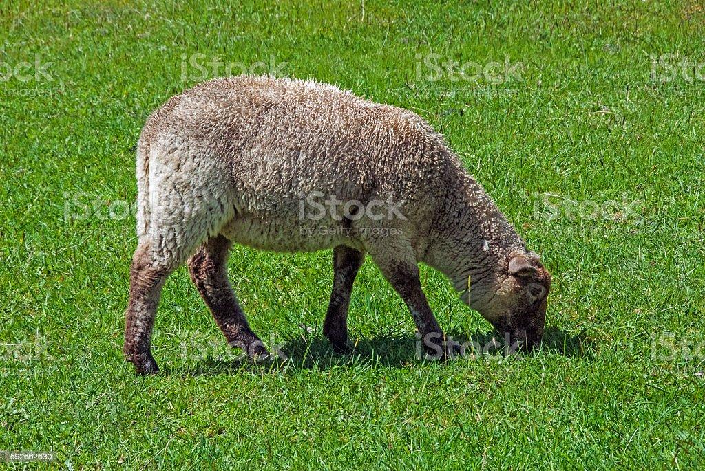 one sheep stock photo