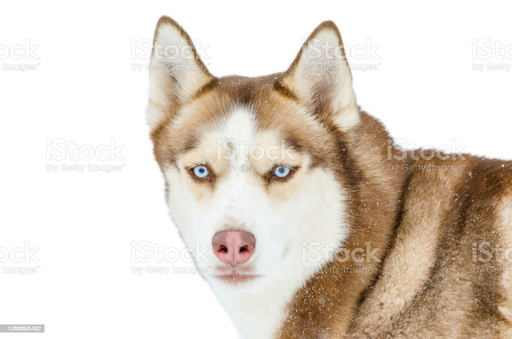One Siberian Husky Dog With Blue Eyes Looks Around Close Up