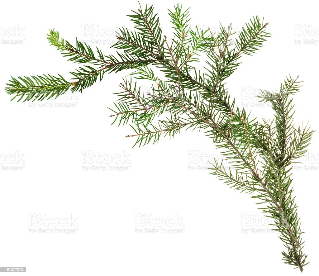 one simple fresh twig of christmas tree stock photo