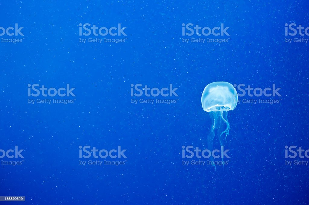 One single Jellyfish on Blue Background stock photo