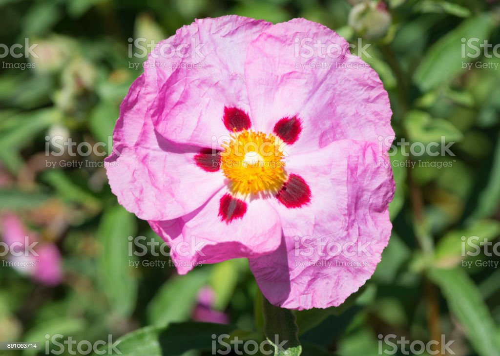 One Single Pink Cistus Purpureus Flowers - Orchid Rockrose stock photo