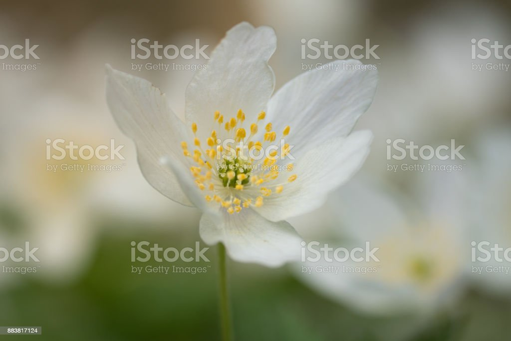 One single wood anemone flower in early spring sunlight stock photo