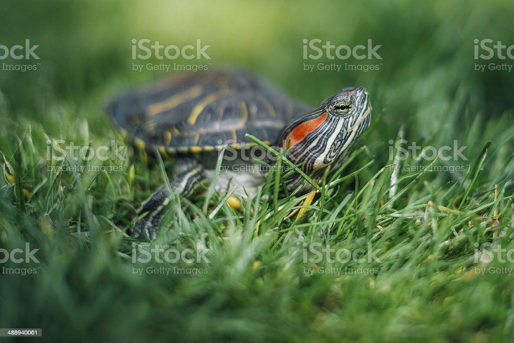 One Slider Turtle outdoor in grass stock photo
