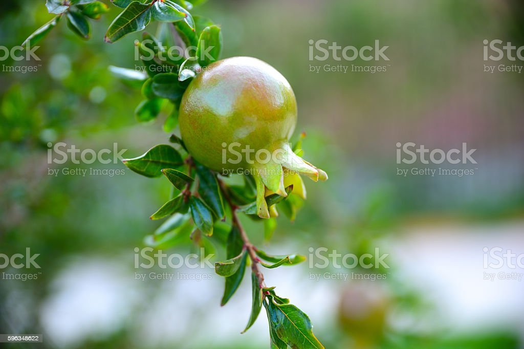 One small color pomegranate fruit growing on a tree branch royalty-free stock photo