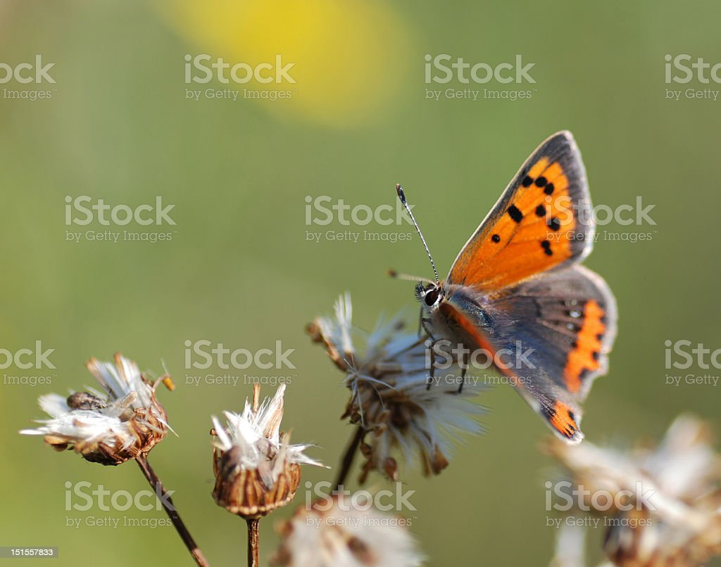 One small copper butterfly royalty-free stock photo