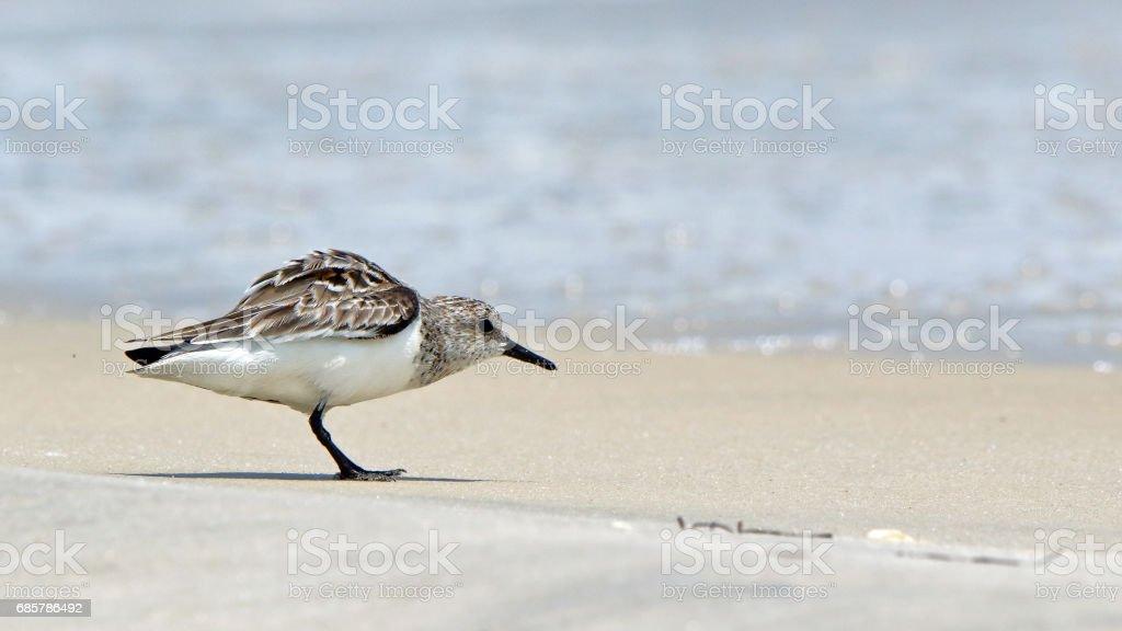 Aves playeras pequeñas un caminar cerca de surf en el Golfo de foto de stock libre de derechos