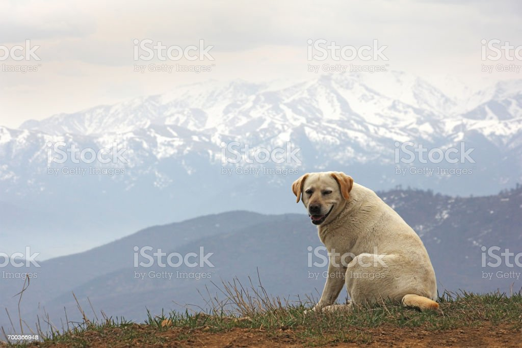 one smiling dog in the background of the mountains stock photo