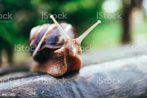 One snail on the natural background macro view big beautiful helix picture id949174832?b=1&k=6&m=949174832&s=612x612&h=e9wzp8yzpnjlic9us7cc7yujxvtplhplvnw4s1u7rq8=