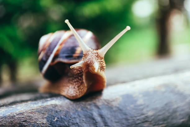 One snail on the natural background, macro view.  Big beautiful helix with spiral shell. One snail on the natural background, macro view.  Big beautiful helix with spiral shell. helix stock pictures, royalty-free photos & images