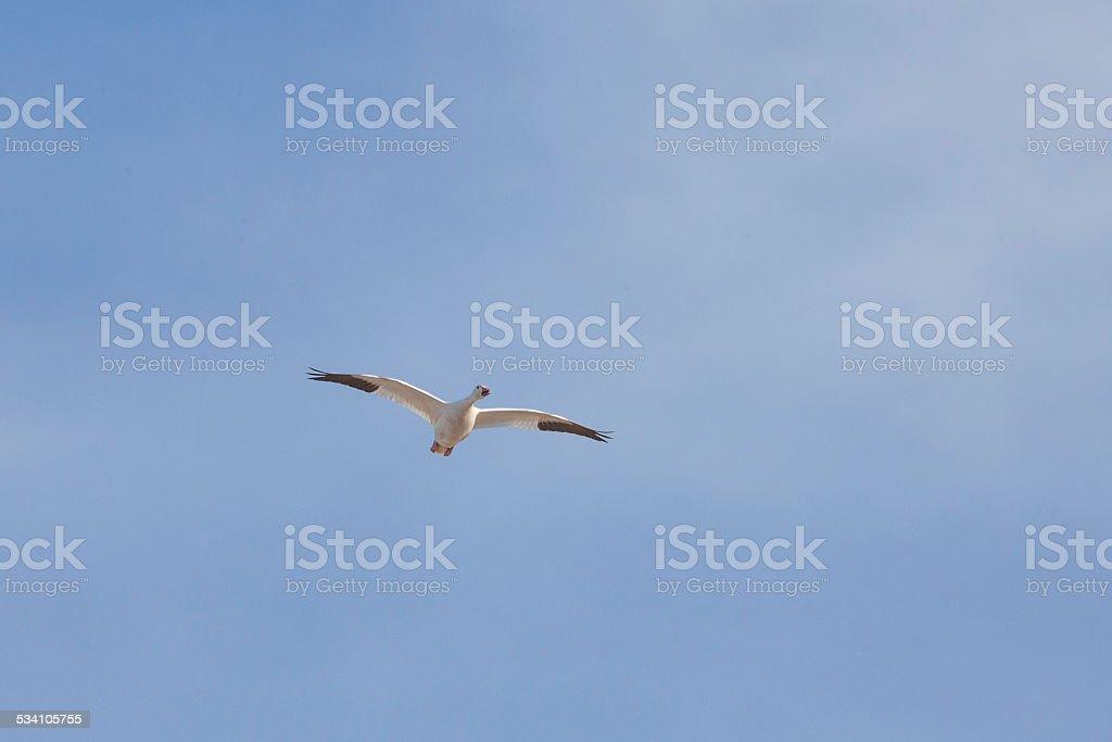 One Snow Goose flying stock photo
