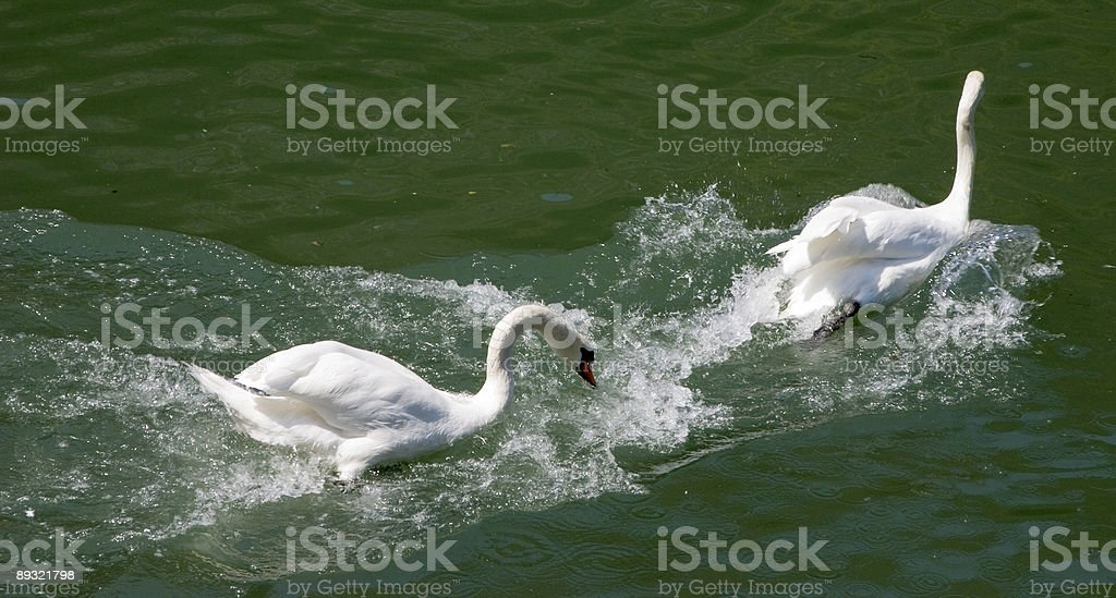 One swan chasing the other stock photo