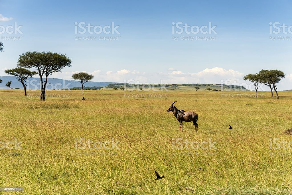 One Topi in the Serengeti of Tanzania, Africa stock photo