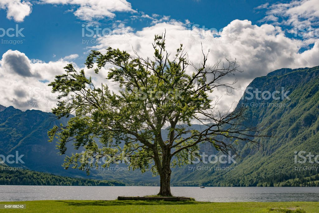 One tree and beautiful lake with mountains. Lake Bohinj, Slovenia. stock photo