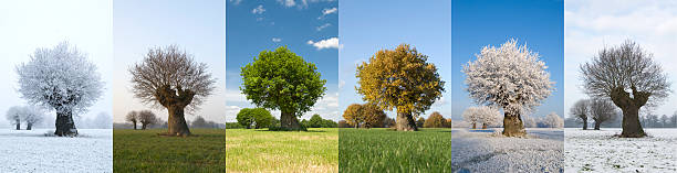 One tree in different seasons Image of the same tree in six  different months of the year.  With fresh green leaves in spring, green leaves in summer, bare n fall and covered in snow in winter. The tree stands solitaire in a field. four seasons stock pictures, royalty-free photos & images