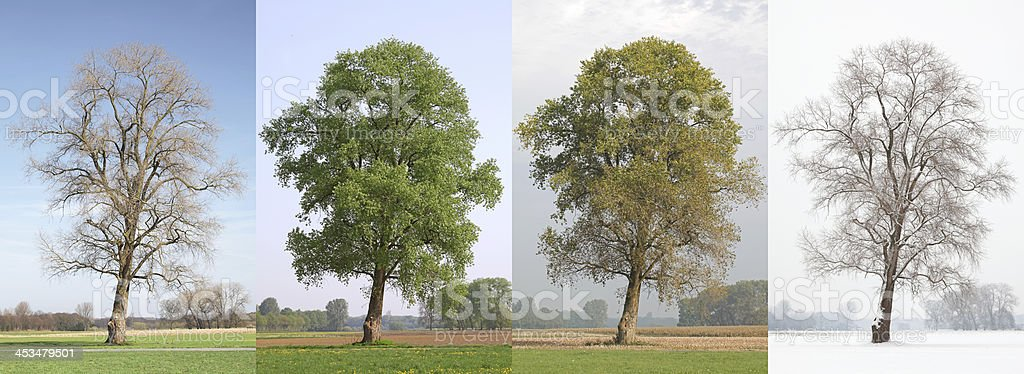 One Tree In Four Seasons royalty-free stock photo