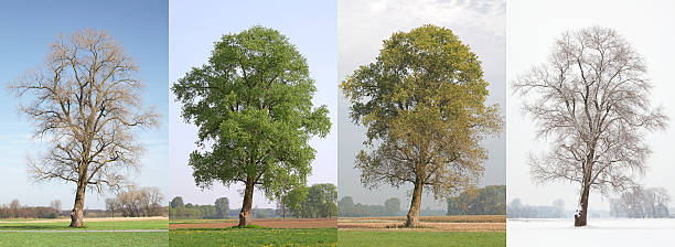 one tree in four seasons - four seasons stock photos and pictures