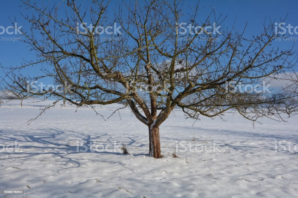 One  tree in the snow with blue sky stock photo