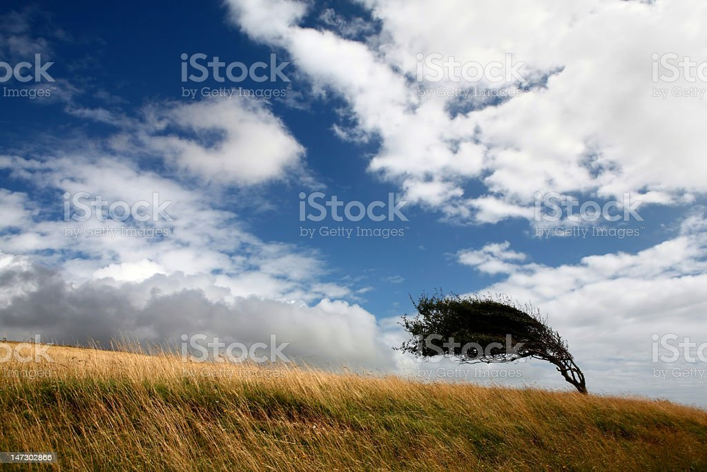 one tree on a field deformed by wind stock photo