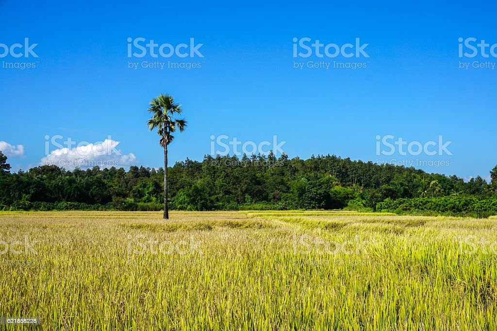 One tree on the rice field royalty free stockfoto