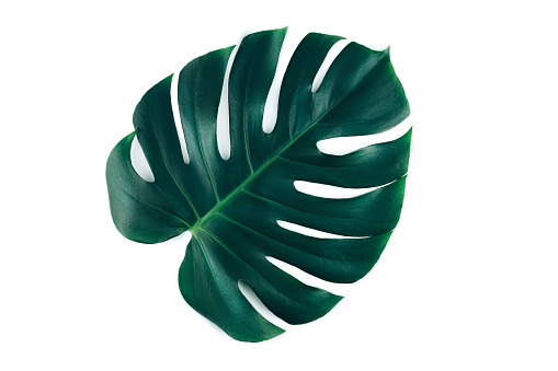 istock One tropical jungle monstera leaf isolated on white background. 1171516011