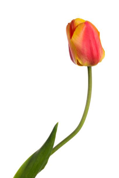 Eine Tulpe, einzelne Blume isoliert auf weißem Hintergrund – Foto