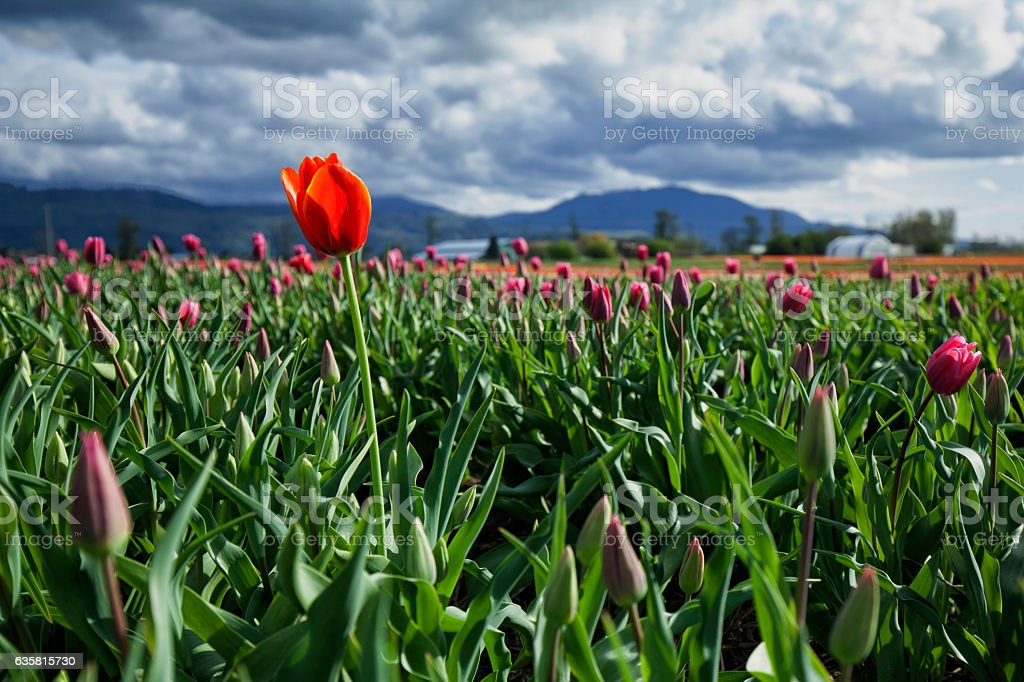 One tulip stands out in the field of purple ones. stock photo
