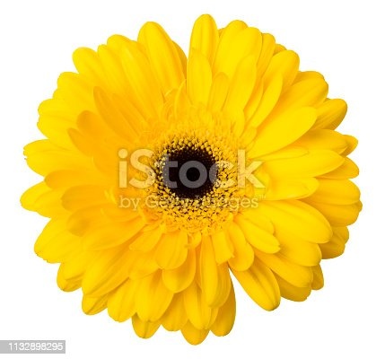 One Vibrant bright yellow gerbera daisy flower blooming isolate on white background