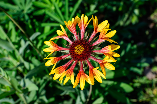 One vivid yellow and red Gaillardia flower, common known as blanket flower,  and blurred green leaves in soft focus, in a garden in a sunny summer day, beautiful outdoor floral background