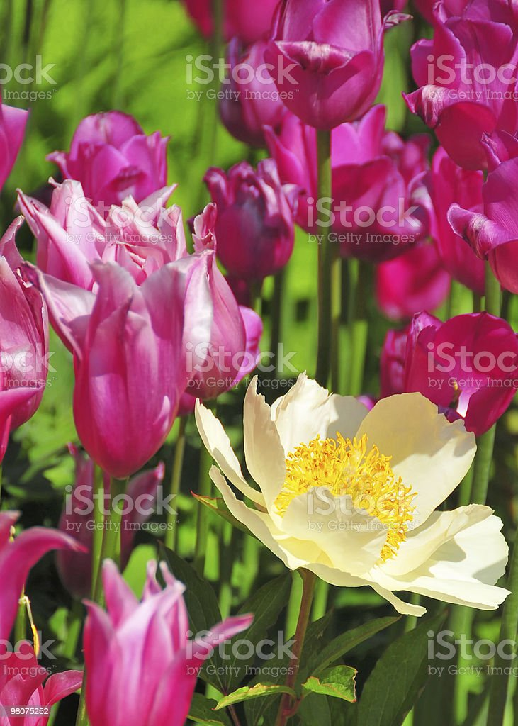 One white anemone with tulips royalty-free stock photo
