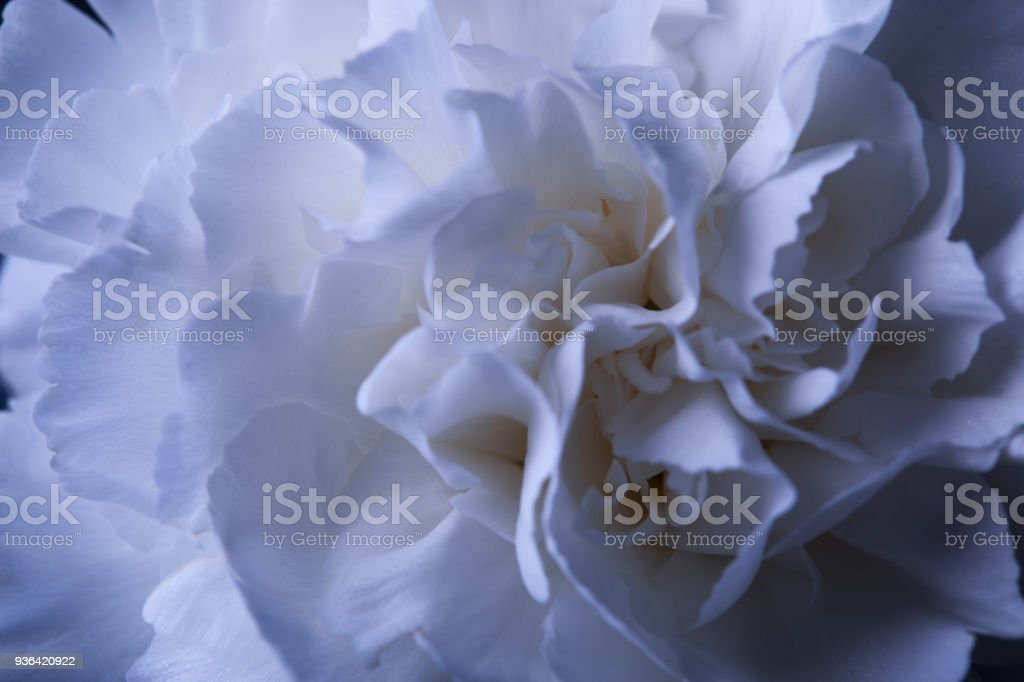 One White Carnation Flower In Reflecting Vase With Water On Dark ...