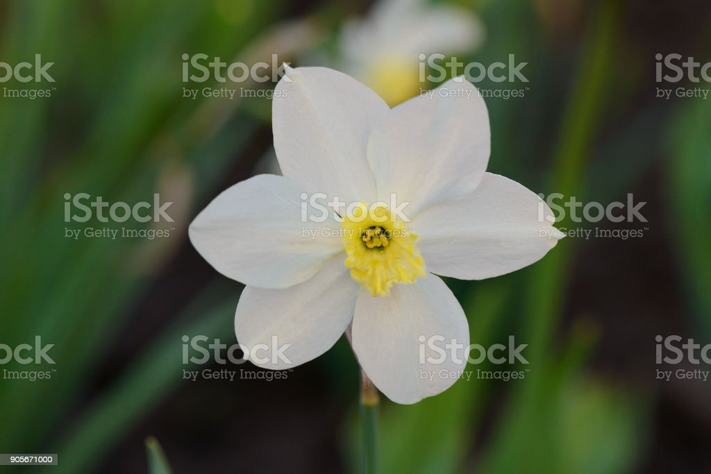 One white daffodil flower against a background of a green flower bed one white daffodil flower against a background of a green flower bed royalty free stock mightylinksfo