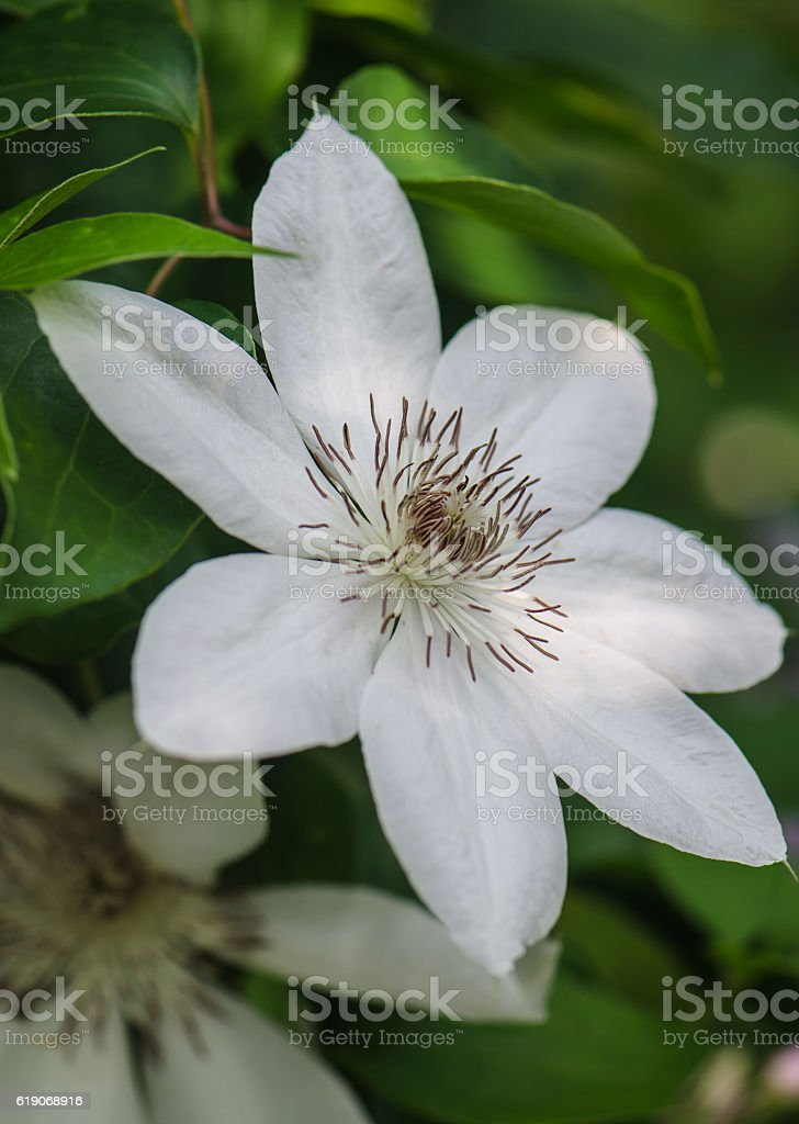 one white flower clematis stock photo