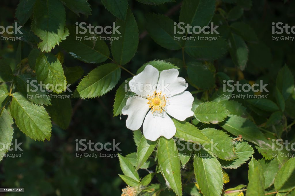 One white flower of dog rose in may stock photo more pictures of one white flower of dog rose in may royalty free stock photo mightylinksfo