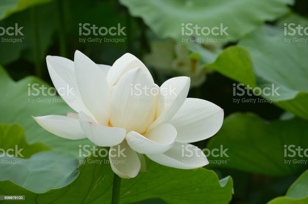 One White Lotus Flower Stock Photo More Pictures Of Aichi