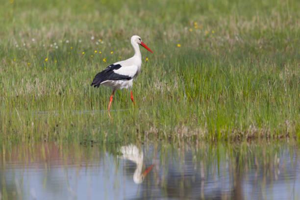 one white stork (ciconia ciconia) in grassland, mirrored in pond - bocian zdjęcia i obrazy z banku zdjęć