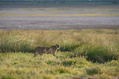 This is a color photograph of one wild cheetah standing on a grassy plain in Etosha National Park in Namibia, Africa.