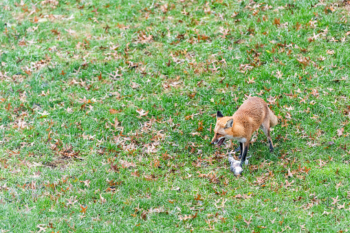 istock One wild eastern orange red fox in Virginia on grass outside in backyard panting hunting killing eating dead squirrel and standing on top with paws 1097569496