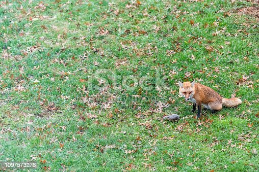 istock One wild eastern orange red fox in Virginia on grass outside in backyard panting hunting killing eating dead squirrel sitting 1097573276
