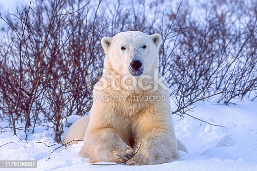 One polar bear (Ursus maritimus) in the Churchill willows along the Hudson Bay, waiting for the bay to freeze over so it can begin the hunt for ringed seals.  Taken in Cape Churchill, Manitoba, Canada.