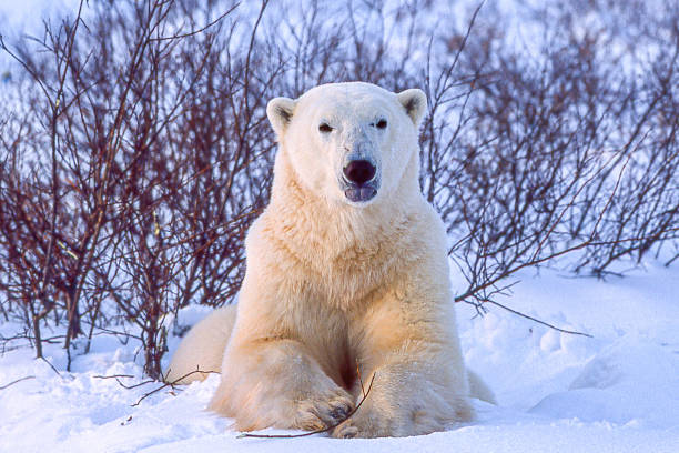 one wild polar bear in churchill willows - deciduous stock pictures, royalty-free photos & images