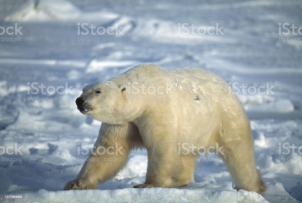 One Wild Polar Bear Standing on Icy Hudson Bay royalty-free stock photo