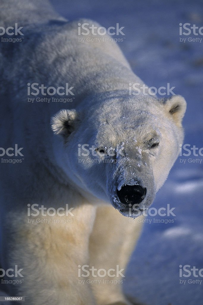 One Wild Polar Bear Standing on Icy Hudson Bay Shore royalty-free stock photo